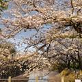 TON04388小田原城址公園の桜