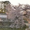 Photos: TON04406小田原城址公園の桜