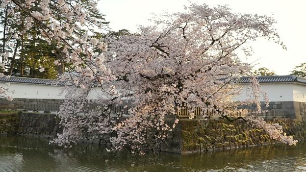 Photos: TON04410小田原城址公園の桜