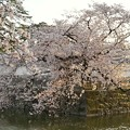 TON04410小田原城址公園の桜