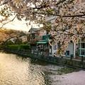Photos: TON04416小田原城址公園の桜