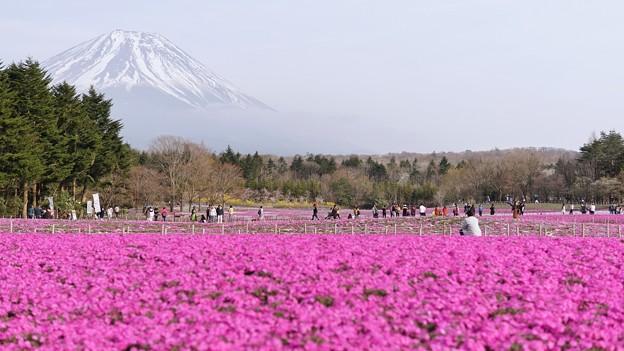 TON04643富士芝桜まつり