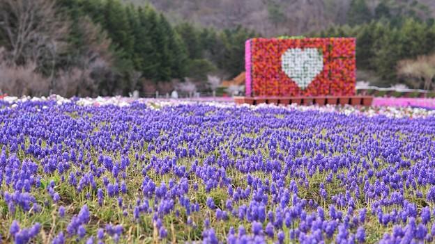 TON04676富士芝桜まつり