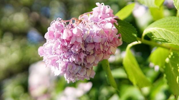 TON05278八景紫陽花