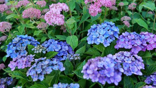 TON05351八景紫陽花