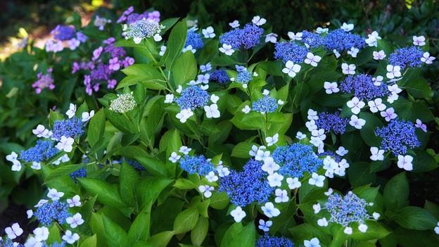 TON05355八景紫陽花