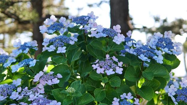 TON05377八景紫陽花