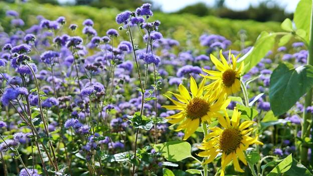 TON05691夏色の花たち