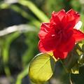 Photos: TON06330初秋の大磯港と花菜ガーデン