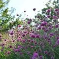 Photos: TON06375初秋の大磯港と花菜ガーデン