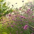 TON06381初秋の大磯港と花菜ガーデン
