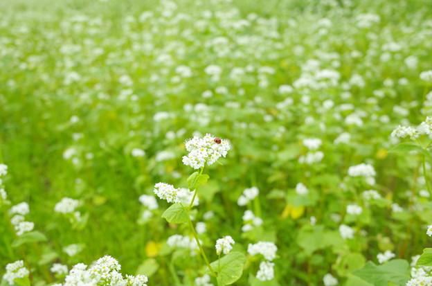 テントウムシ 蕎麦の花