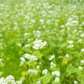 Photos: テントウムシ 蕎麦の花