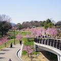 Photos: 桜の並木道