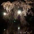 写真: お濠夜桜