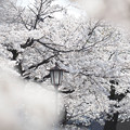 Photos: 桜_参道