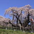 1356 三春滝桜@福島