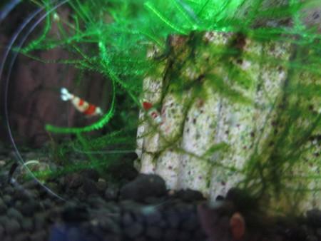 20140616 60cmエビ水槽の稚エビ