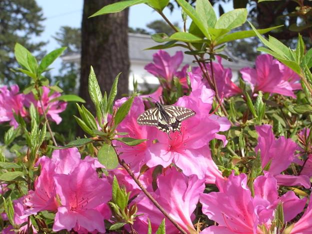 20100510極小のナミアゲハ春型(小田原市)