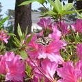 写真: 20100510極小のナミアゲハ春型(小田原市)