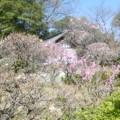 写真: 萩原天神梅園