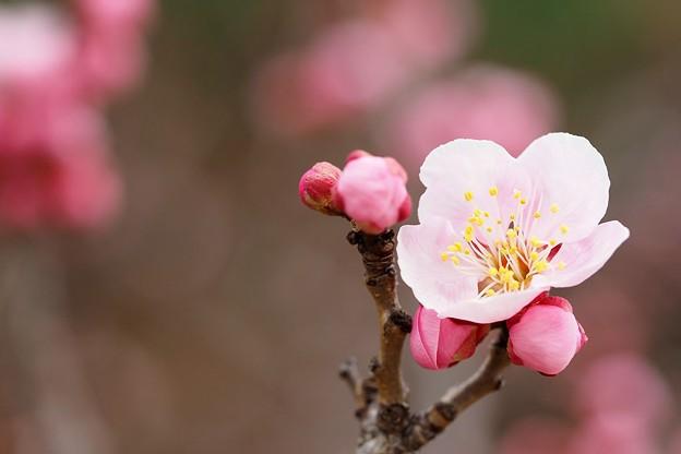 写真: 桃色梅