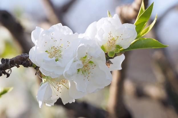 大阪城公園桃園