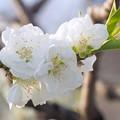 写真: 大阪城公園桃園