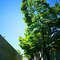 写真: ケヤキ