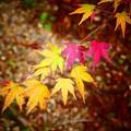 写真: 黄葉・紅葉