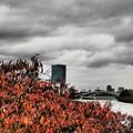写真: 桜紅葉と大阪城