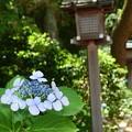 神社の紫陽花
