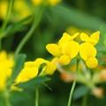 Photos: 何の花? → ミヤコグサ