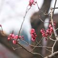 写真: 梅も桜も同時です