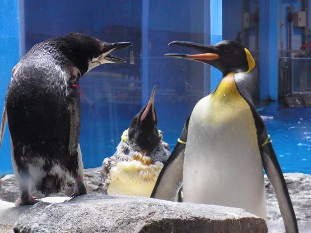 写真: 20180620 長崎ペンギン水族館 ジュン02