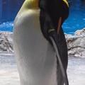 写真: 20180620 長崎ペンギン水族館 ジュン09