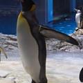 20180620 長崎ペンギン水族館 ジュン10