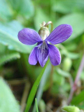 コスミレ(Viola japonica Langsd. ex Ging.)