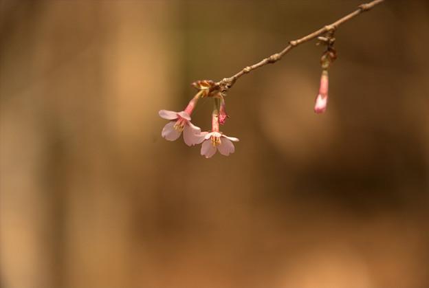 えらいもんです。氷点下2度でもキンキマメザクラが咲いていました。