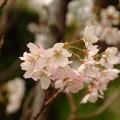 湊川神社の桜