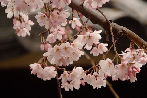 十二坊の桜(1)