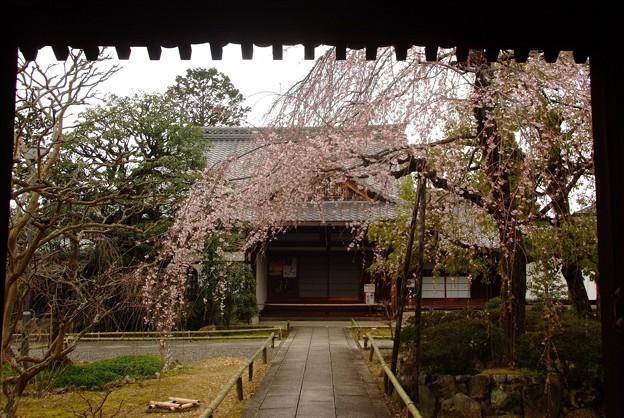 十二坊の桜(2)
