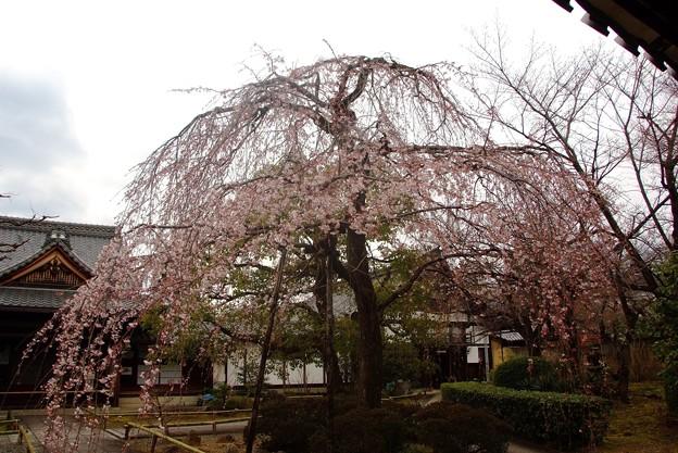 十二坊の桜(3)