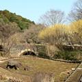 写真: 蝋梅と石橋