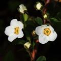 写真: 雪柳の花
