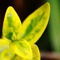 写真: 新しい芽