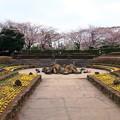 写真: 桜と噴水