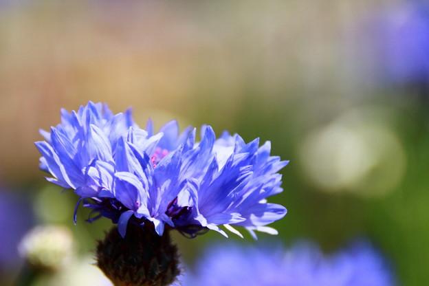 矢車菊(ブルー)