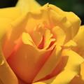 写真: 黄色薔薇