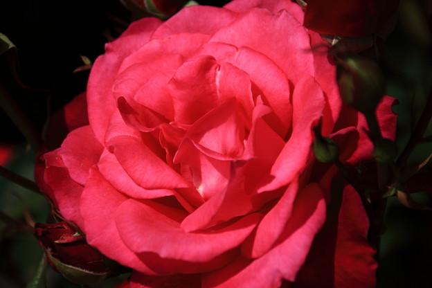 薔薇(シエンプレ)